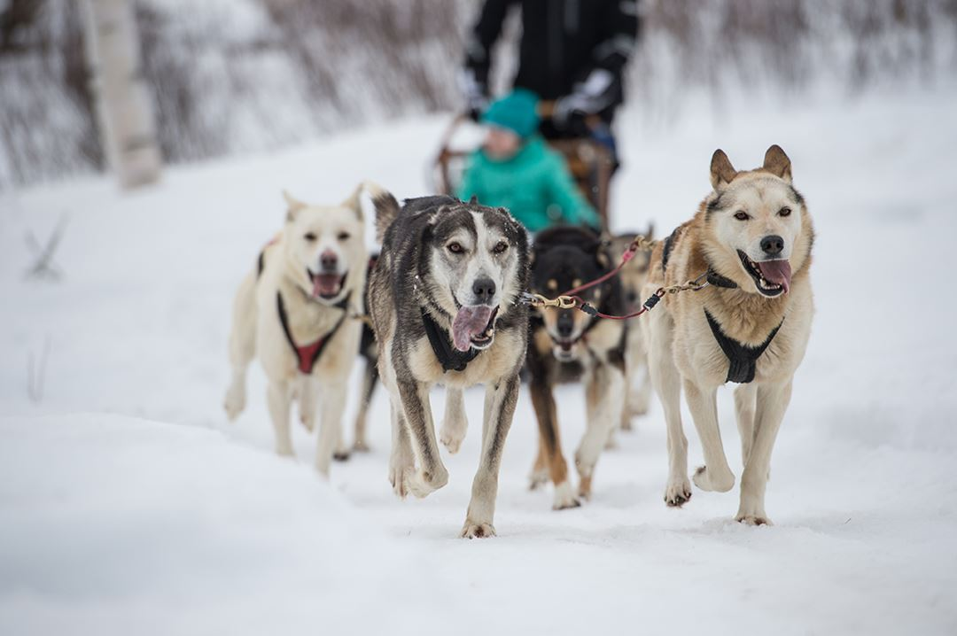 Auberge-du-Lac-Taureau-dogsledding