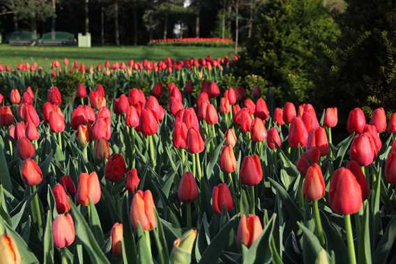 Tulipes à la Maison Antoine-Lacombe