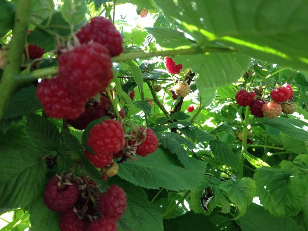 Ferme Bourdelais rasberries