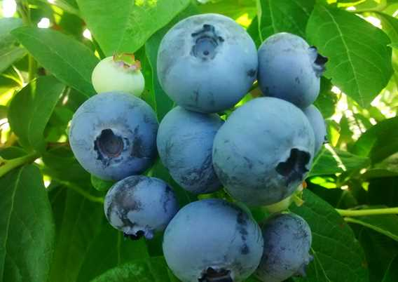 Ferme Bourdelais blueberries