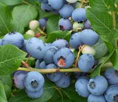 bleuetiere-asselin-blueberries-pick-your-own