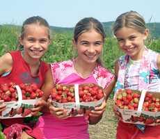 autocueillette-fraises