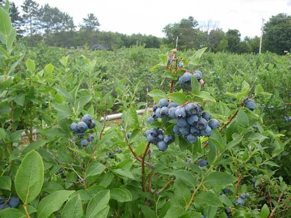 Blueberries of Bleuetière Royale