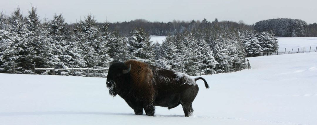bisonniere_bison_danslaneige_entete_TM