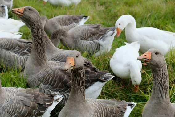 Les canards d'abord