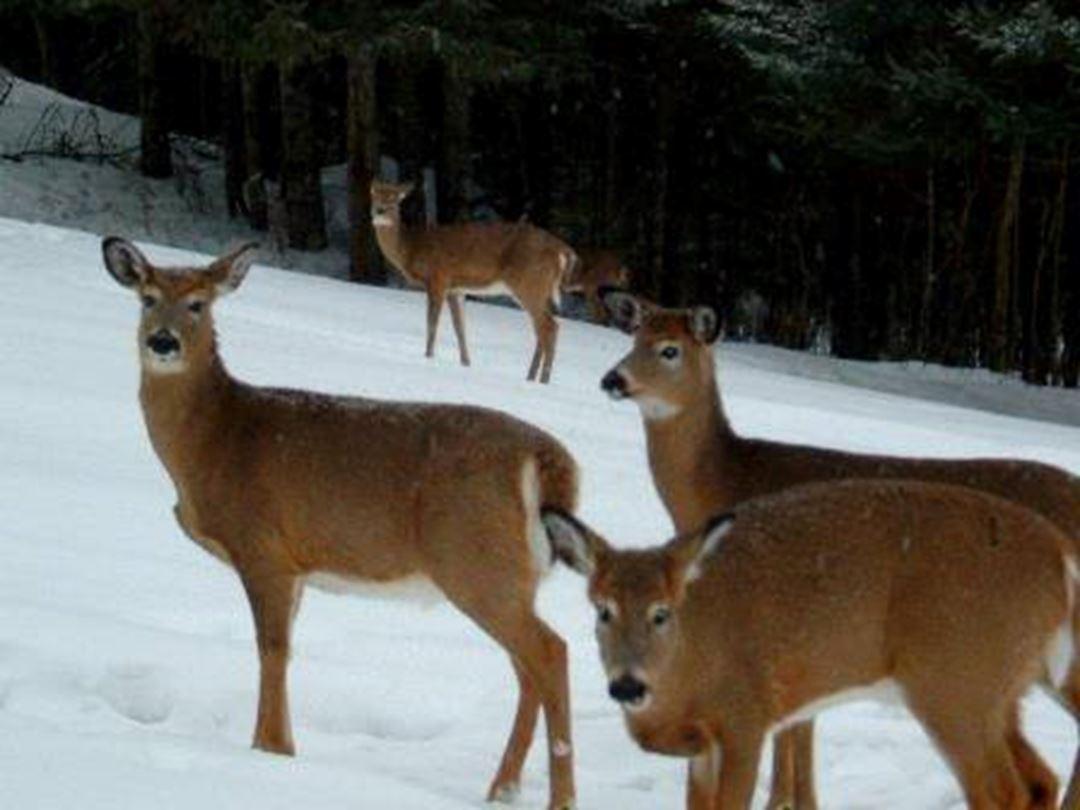 Virginia deer.