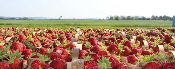 Strawberry fields at Ferme Marc Leblanc