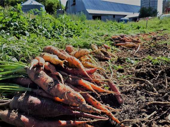 Carrots of Cabane à sucre Côte-à-Joly