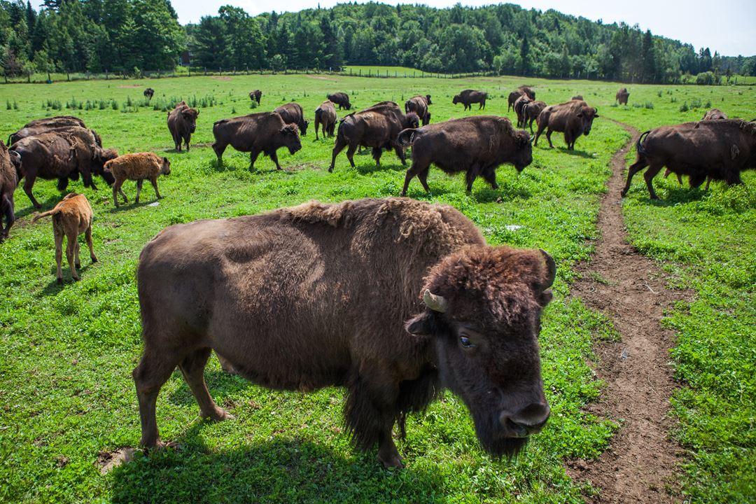 La Terre des Bisons