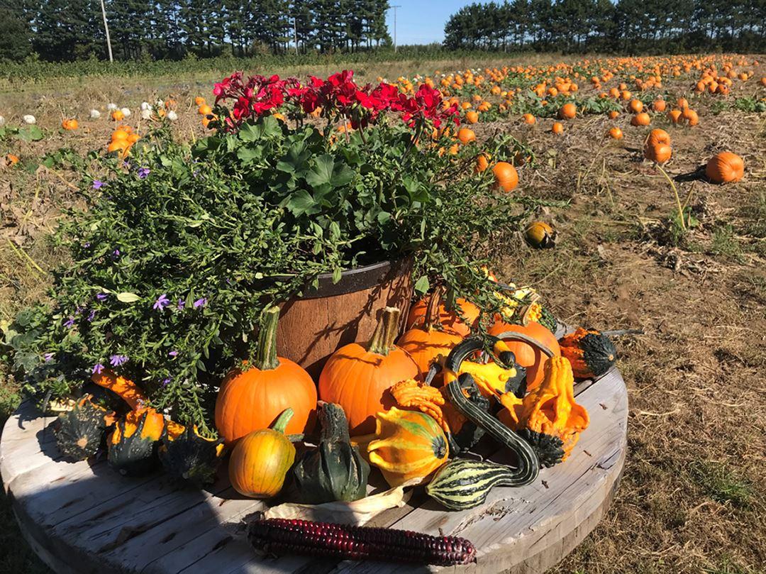 Pumpkins at Bleuetière Asselin