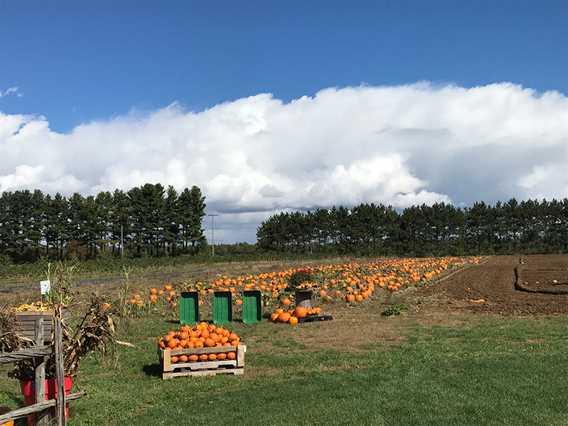 Pumpkin fields at Bleuetière Asselin