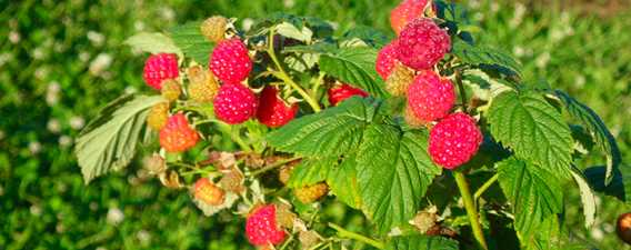 Strawberries of Bleuetière Royale