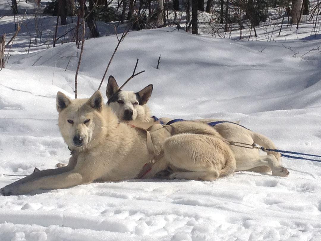 Aventure chien de traineau