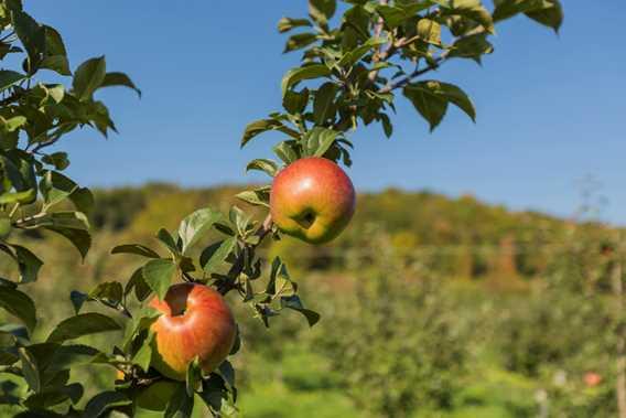 Orchard Qui sème récolte! / Cuisine Poirier