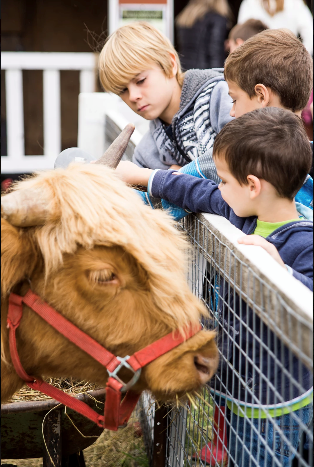 Children with Highland beef at Domaine Nasenka