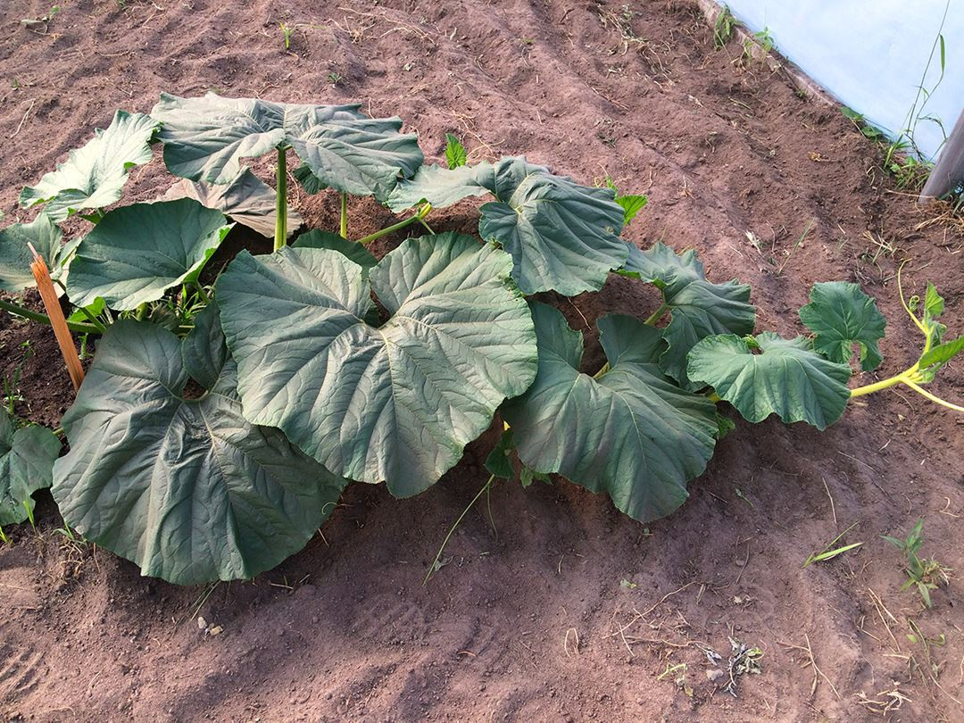 Plants à La brouette à légumes... citrouilles et sorcellerie