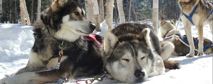 Adventure dog sledding at Saint-Michel-des-Saints